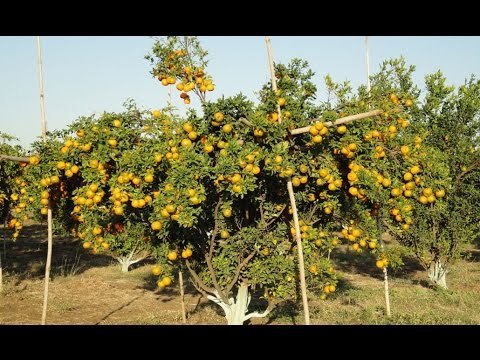 Success Story of Nagpur Mandarin Cultivation In Vidharba (English)