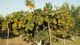 Success Story of Nagpur Mandarin Cultivation In Vidharba (English)