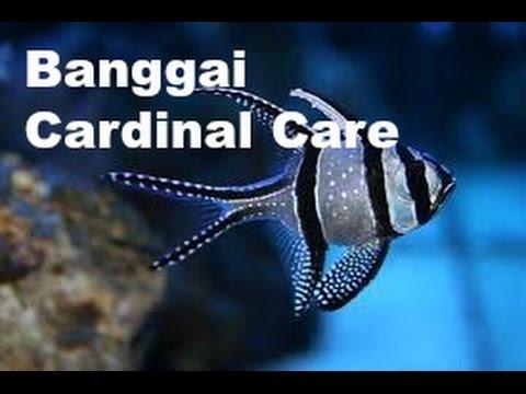 Banggai Cardinalfish (Pterapogon Kauderni) Care : Aidan's Reef