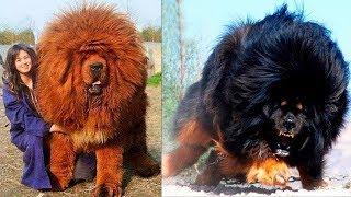 10 สายพันธุ์สุนัข..ที่มีค่าตัวโครตแพงที่สุดในโลก!