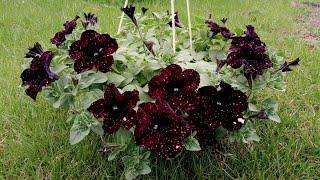 Обзор цветущих растений в теплице  Последствия заморозков на петунии