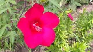 Цветы. Гибискус травянистый
