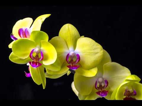 Popular collection of yellow orchid flower pictures romance youtube popular collection of yellow orchid flower pictures romance mightylinksfo