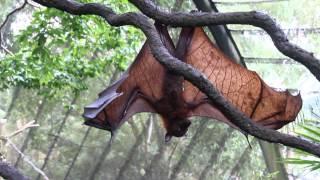 Malayan Flying Fox (Singapore Zoo) / Малайская Гигантския Летучая Лисица или Калонг