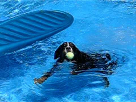 Bernese Mountain Dog Swims