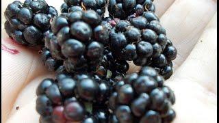 czarne jeżyny smaczne owoce jagodowe w lesie,ostrężyna runo leśne