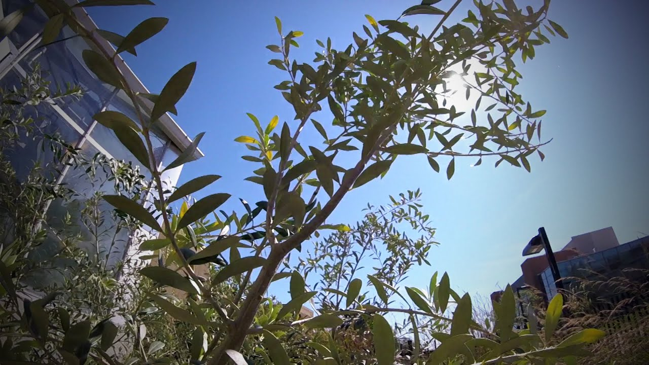 Emerald Ash Borer May Become a Problem for Olive Growers