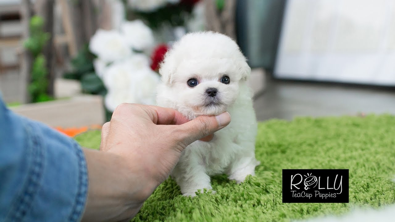 Watch This Little One Play Around !!! White Poodle Kiwi ...