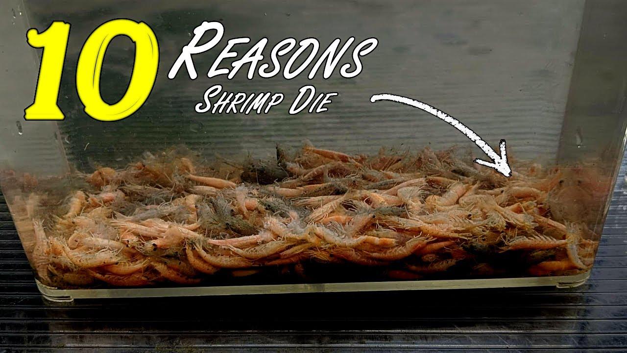 Top 10 Reasons Why Shrimp Die [Beginner Shrimp Keeping] #flipaquatics