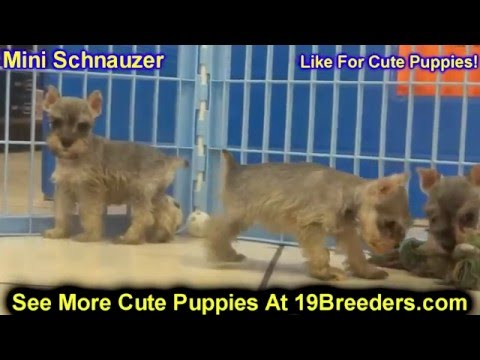 Miniature Schnauzer, Puppies, Dogs, For Sale, In Raleigh, North Carolina, NC, Durham, Greenville