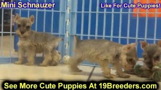 Miniature Schnauzer, Puppies, For, Sale, In, Green Bay, Wisconsin, Wi, Eau Claire, Waukesha, Appleto
