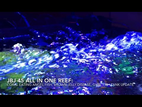 Angel Fish Eating Corals, Brown Jelly Disease, Gyre 130 - Reef Update