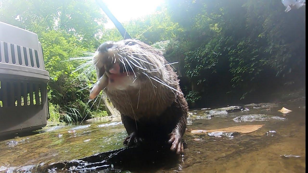 カワウソさくら カワウソと川に行ったら野生が爆発した When the otter went to the river, it became wild