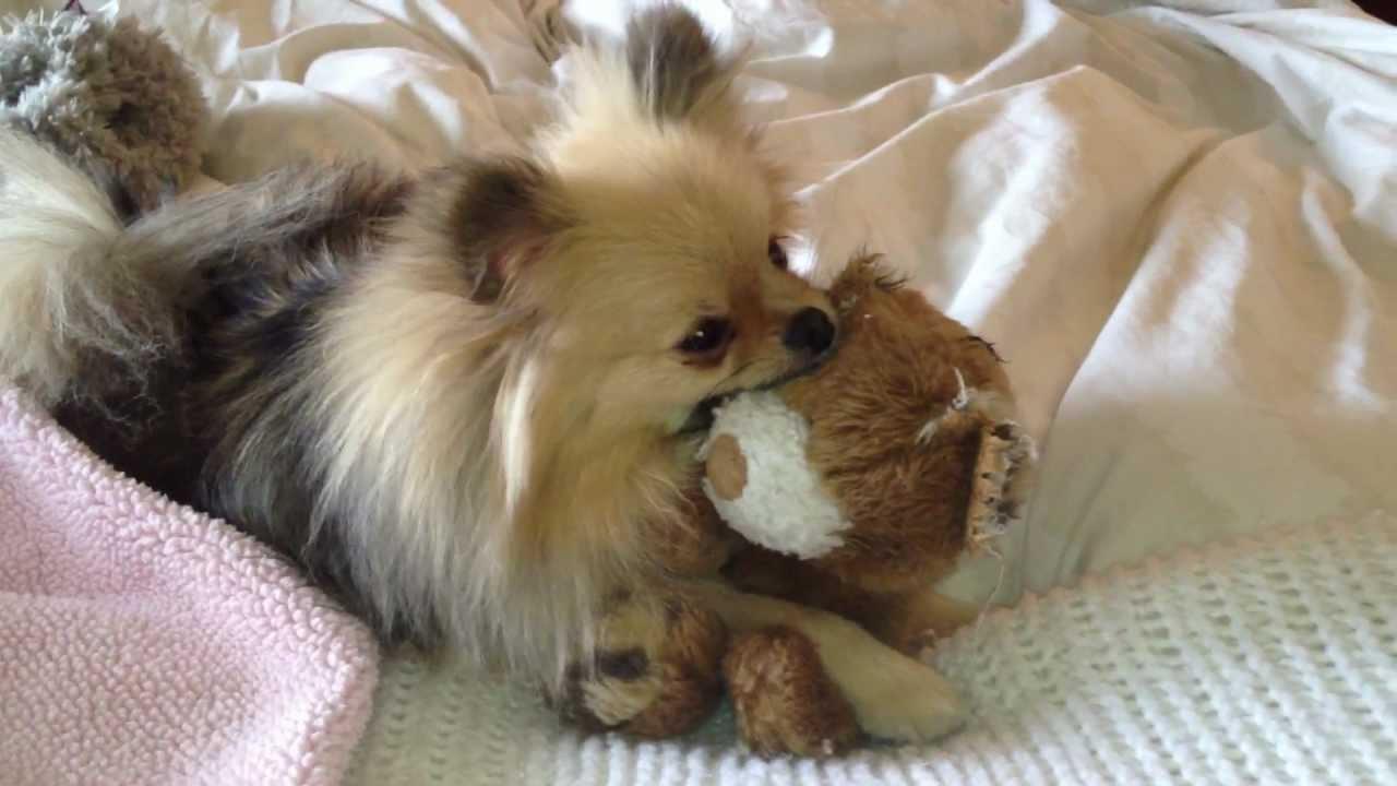 Cute Puppy Nursing On Stuffed Animal Pomeranian For Sale Youtube