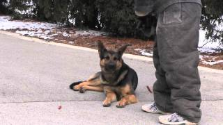Protectection Dogs Ccpd - Food Refusal