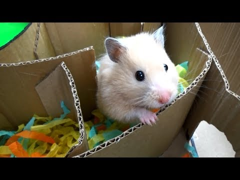 Hamster in Hamster-shaped Labyrinth