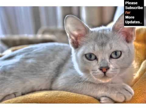 Burmilla - Cat Pictures