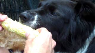 Border Collie Eating Corn On The Cob