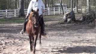 Morgan Horse Mare, Beginner friendly Thumbnail