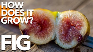FIG | How Does it Grow?