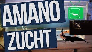 AMANO ZUCHT & WeißANTEIL BEI GARNELEN | Wissen | GarnelenTv