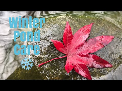 How To Winterize Your Pond!   The Barefooted Gardener