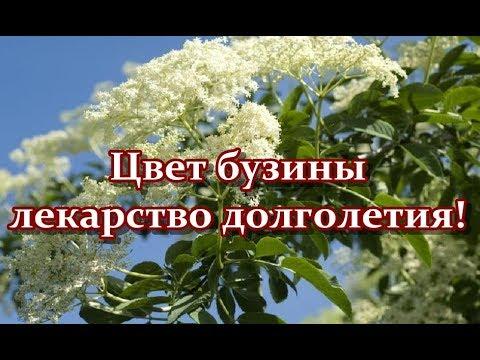 Цветы бузины черной полезные свойства и противопоказания