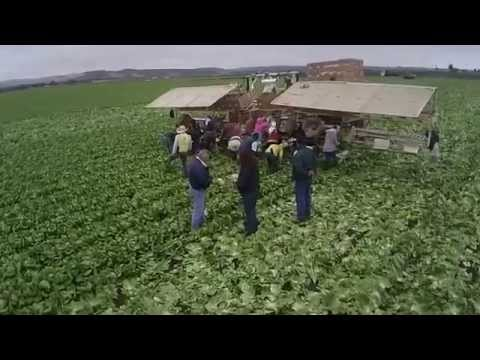Lettuce in Salinas