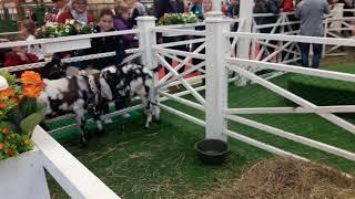 Смотреть видео Павильон животноводство. Выставка Золотая осень 2018. Город Москва онлайн