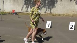 боксер собака видео с выставки собак