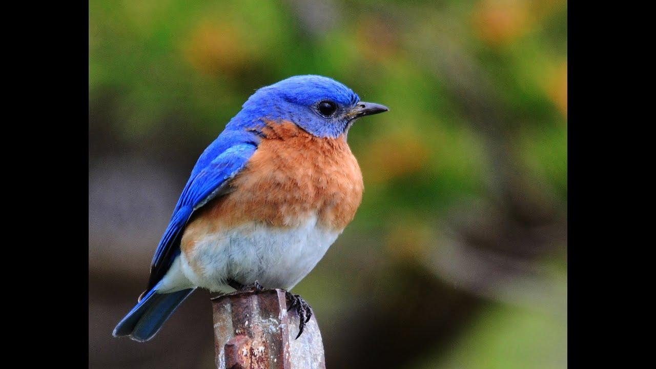 Baby Bluebird Food