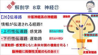 簡単解剖学 8章 神経㉗(伝導路)