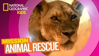 Lions and How to Save Them 🦁 | MISSION ANIMAL RESCUE
