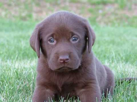 Pa Tall Tails Dixies Chocolate Lab Puppies Youtube