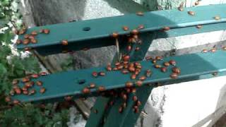Lady Bug Infestation,   Betcha never seen more at one time!!!