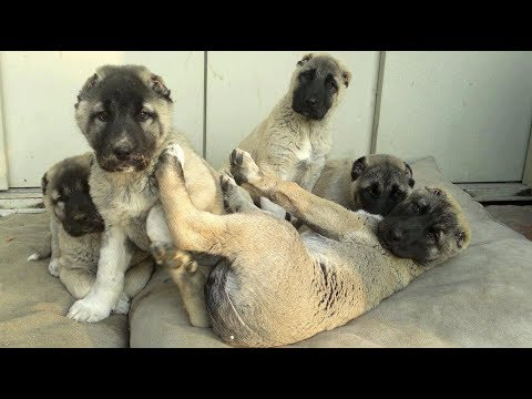 ASLAN PARÇALARI BUNLAR MAŞALLAH - Brave & Cute Little Kangal Puppies