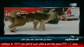 سباق بين 500 كلب على جبال الألب
