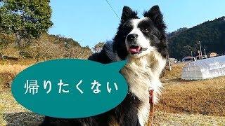 我が家の愛犬ハリーくんは散歩の前半は意気揚々と積極的に散歩しますが...