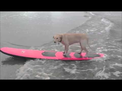 Krissy the Surfing Dog