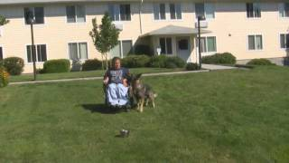 Food Drive Video: Teaching The Dog To Channel His Drive. Schutzhund Obedience