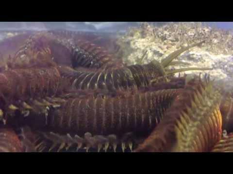 Rekordwurm im Meerwasseraquarium - record sized worm in marine tank