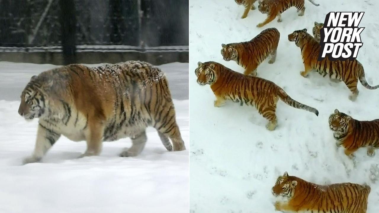 These Tigers Might Be Fat But They Can Still Kill Like Champs Youtube
