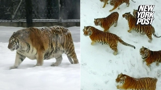 These tigers might be fat, but they can still kill like champs