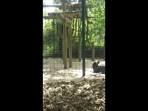 Singe regarde les pou d'un autre singe
