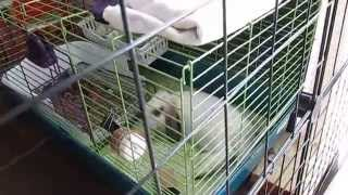 Rabbit Indoor Cage Set Up For Small Space: Daisy, Jasper's Cage Tour!