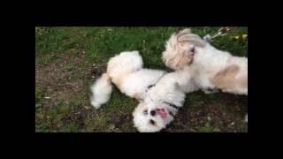 Lhasa Apso Chester Playing With Shih Tzu Harlow In Mississauga