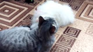 Кот Персей-массажист