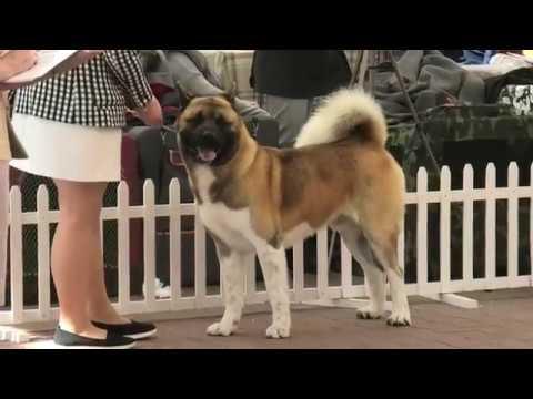 Акита американская и японская. Выставка собак. Одесса. Ривьера. CAC-UA. КСУ. Собачники. VLOG DOG.