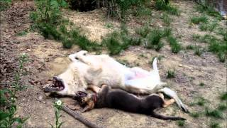 Wolf vs German Shepherd Puppy!!!