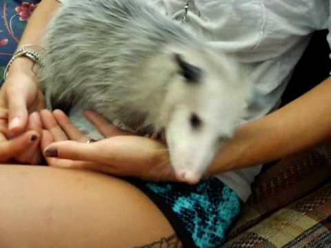 Pet Possum Opossum Rocko